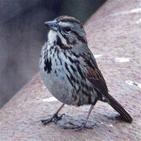 song sparrow subspecies in california
