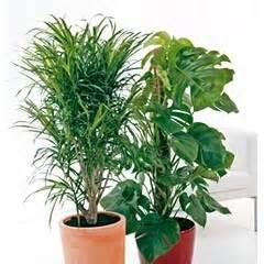 les grandes feuilles conseils plantes vertes d int 233 rieur
