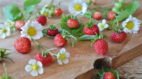 Delectable Yet Unedible Fruits And Vegetables by Grow Delicious Strawberries In Your Own Garden Espoma