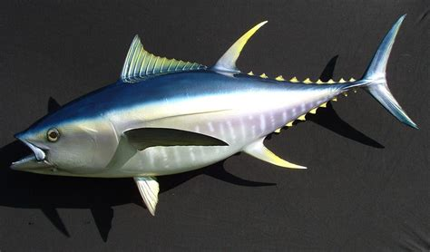 ikan tuna budidaya ikan ikan hias resep ikan gambar dan