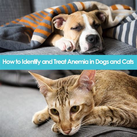 anemia in dogs how to identify and treat anemia in dogs and cats allivet pet care