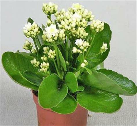 jual tanaman bunga cocor bebek  calandiva putih