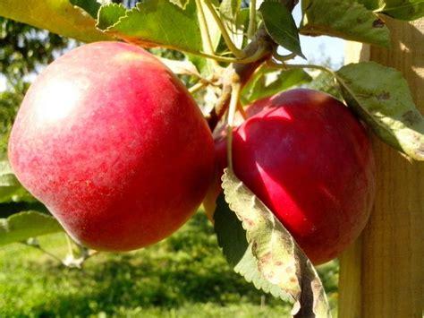 organic fruit trees free picture organic fruit tree apples