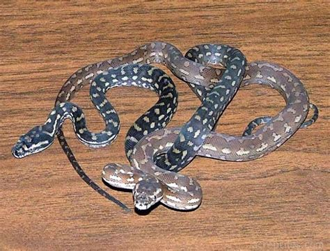 black and white diamond pattern snake unnamed quot red hypo quot diamond jungles