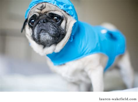 pug in a raincoat milo the pug in the raincoat by burntfeather via flickr pug venus