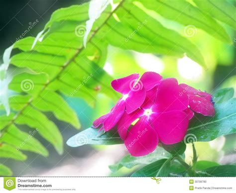 pink flower floor l periwinkle stock image cartoondealer com 86614861