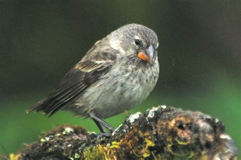 small tree finch f