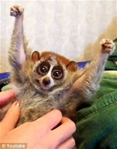 youtube sensation the slow loris might look adorable but