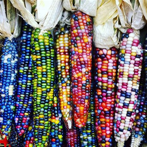 corn colors 79 best indian corn images on vegetables