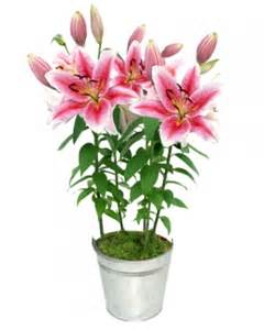 offrir des fleurs lys odorant