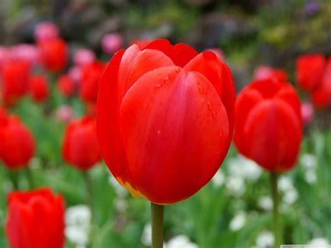 fiori tulipani significato fiori tulipano linguaggio dei fiori
