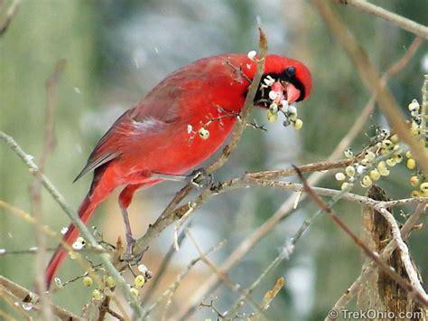 cardinal eating poison ivy berries trekohio