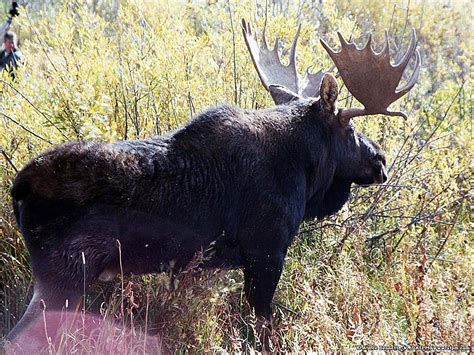 Kemeja Hd 43 Size Eropa moose pictures wallpapers 43 wallpapers adorable