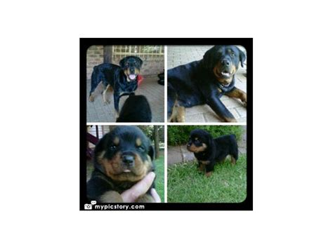rottweiler puppies for sale in ma rottweilers puppies for sale x 5 puppies for sale