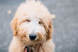 goldendoodle club how to your goldendoodle or labradoodle tully s
