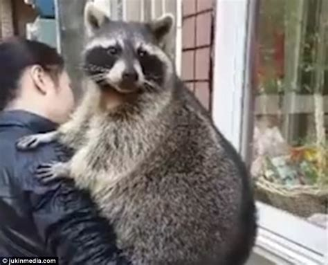 pet raccoon tries and fails to open door in video daily mail online