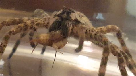 What Do Barn Spiders Eat barn spider