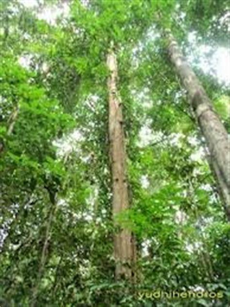 Minyak Buah Ulin Atau Minyak Buah Kayu Besi Bagus Untuk Rambut jual murah minyak buah ulin asli dari kalimantan indonesia