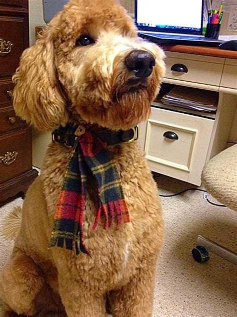 goldendoodle haircuts styles new haircut from a new groomer indythegoldendoodle therapy dog in training lacey doodle