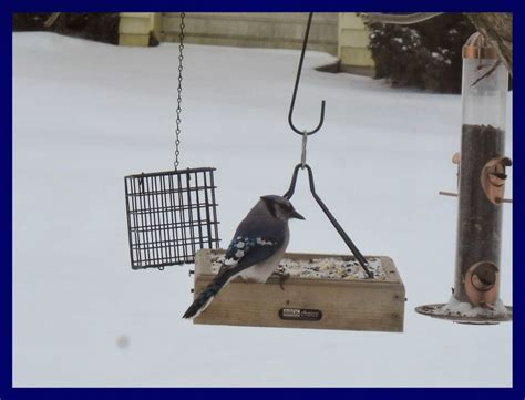 how to attract blue jays to your backyard how to attract blue jays to your backyard 28 images