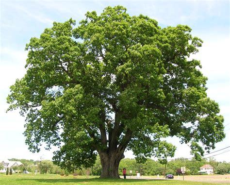 file keeler oak tree distance photo may 2013 jpg