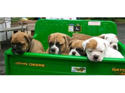 bulldog puppies for sale in ma bulldog puppies in massachusetts