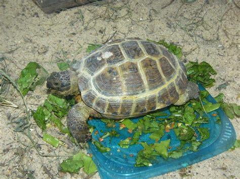Tortoise L by The Zoo Russian Tortoise