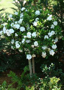 double blooming gardenia tree gardenia trees gardenia