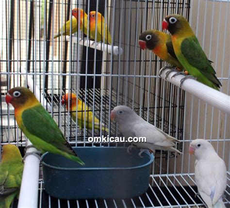 Wp Lovebird Bertelur Breding Obat Burung nsm bf bogor lovebird umur 3 4 bulan dibanderol rp 800 000 klub burung