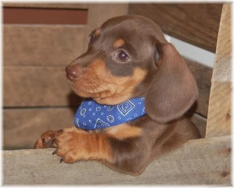 pictures of wiener dogs 8 fabulous weiner pictures in biological science picture directory