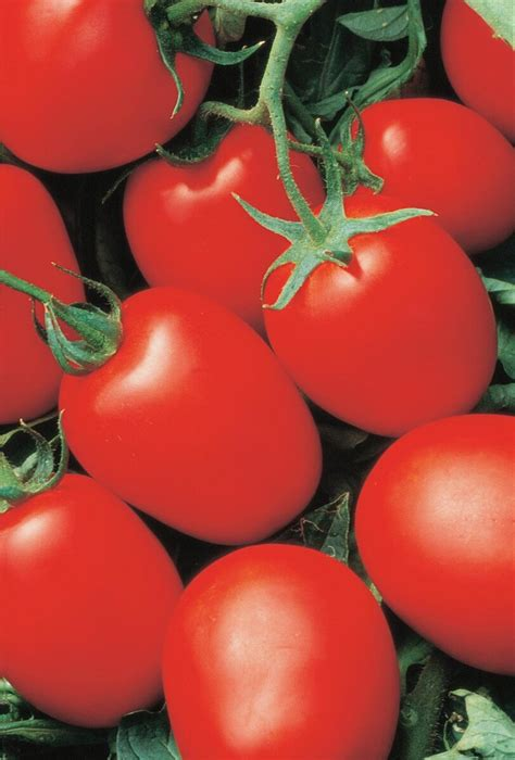 Big Hybrid Tomato 10 Benih unbeatable yaqui hybrid tomato seeds lowest shipping