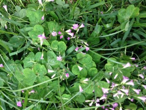 clover w purple flowers
