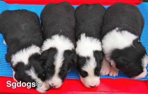 border collie puppies for adoption border collies puppies for sales for sale adoption in singapore breeds picture