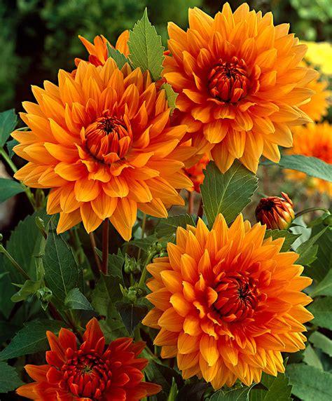 fiori dalie acquista dalie noordwijks glorie bakker