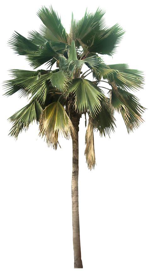 transparent palm tree great  desert plants png