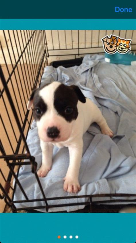 puppy not much wanted small puppy not much money kettering northtonshire pets4homes