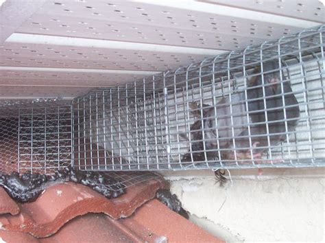 how to trap pigeons for pigeon traps pictures to pin on pinsdaddy