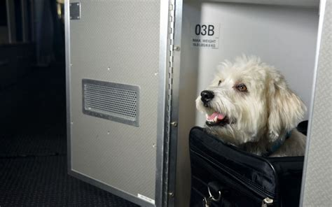 flying with a puppy in cabin luxury pet plane cabins flying with a pet