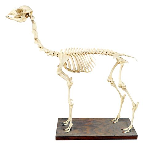 Animal Fur Rugs For Sale Juvenile Llama Skeleton Taxidermy Mounts For Sale And