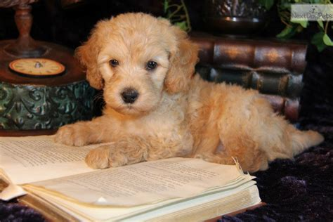 goldendoodle puppies dallas goldendoodle puppy for sale near dallas fort worth 85494db6 7701