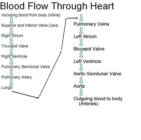 blood flow through the diagram step by step blood flow through diagrams diagram site