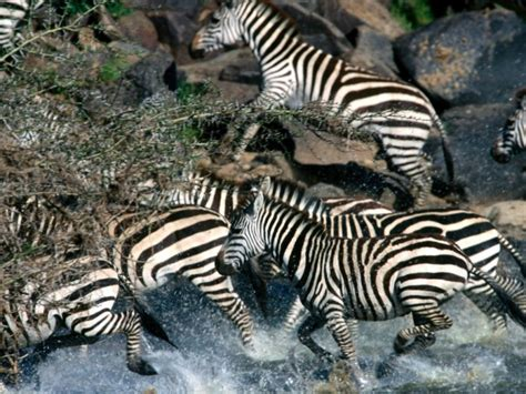 zebra migration pattern zebra migration facts about zebra migratory patterns