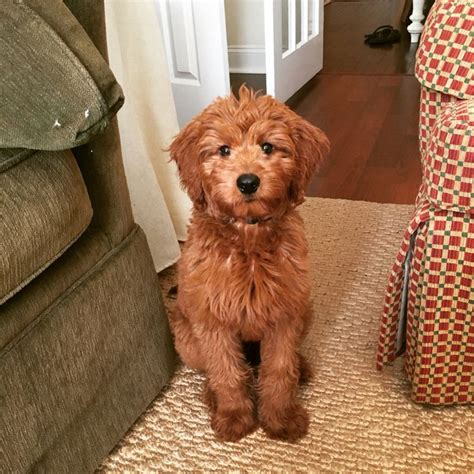 mini goldendoodle haircuts the 25 best goldendoodle haircuts ideas on
