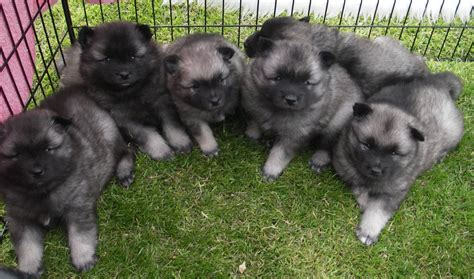 keeshond puppies for sale kc registered keeshond puppies for sale huddersfield west pets4homes