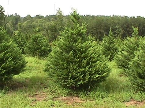 image gallery leyland cypress christmas tree