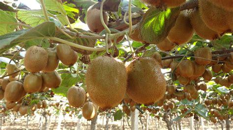 Buah Segar Bidara Oval Cina hijau segar buah kiwi cina buah kiwi xuxiang segar buah kiwi id produk 60038210040