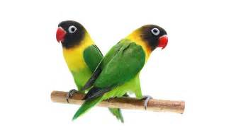 black masked lovebirds or yellow collared lovebirds