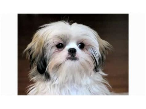 shih tzu pros and cons pros cons of a shih tzu breeds