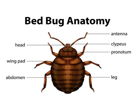 bed bug exterminator brooklyn brooklyn ny exterminator pest control ants rats roaches mice bed bugs termites pest