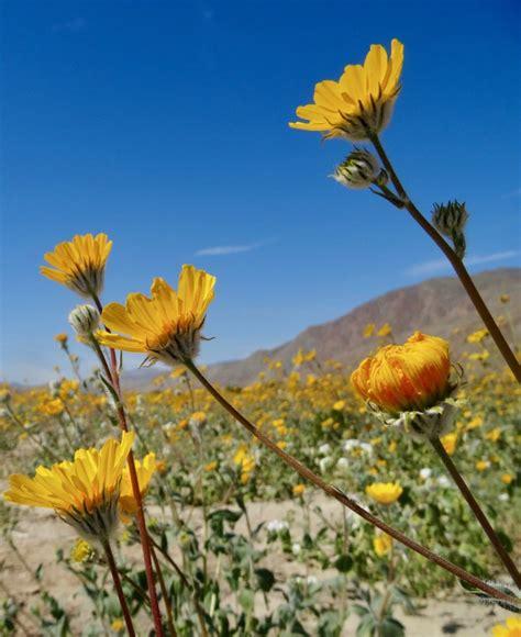 borrego super bloom borrego wildflower super bloom tour
